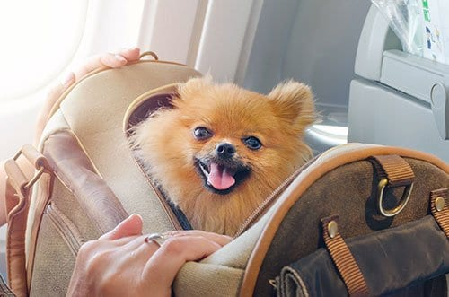Dog in carry on